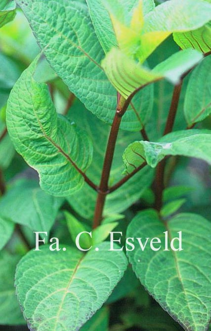 Hydrangea macrophylla 'Ramis Pictis'