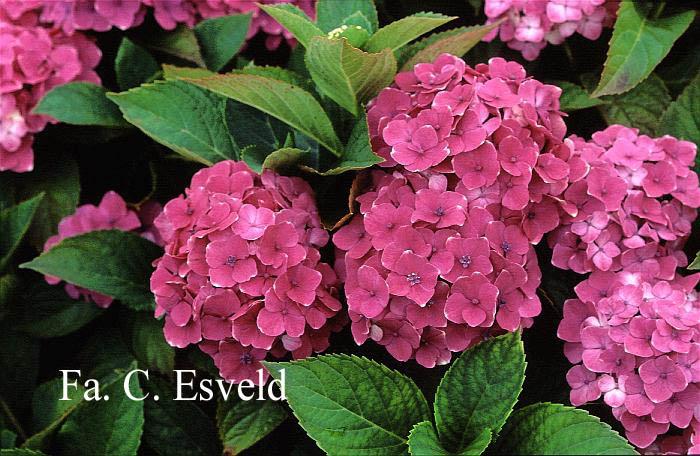 Hydrangea macrophylla 'Souvenir de Marne'