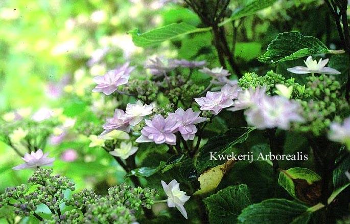 Hydrangea macrophylla 'Tambour Major'