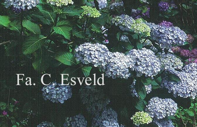 Hydrangea macrophylla 'Trebah Silver'