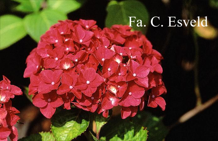 Hydrangea macrophylla 'Vorster Frührot'