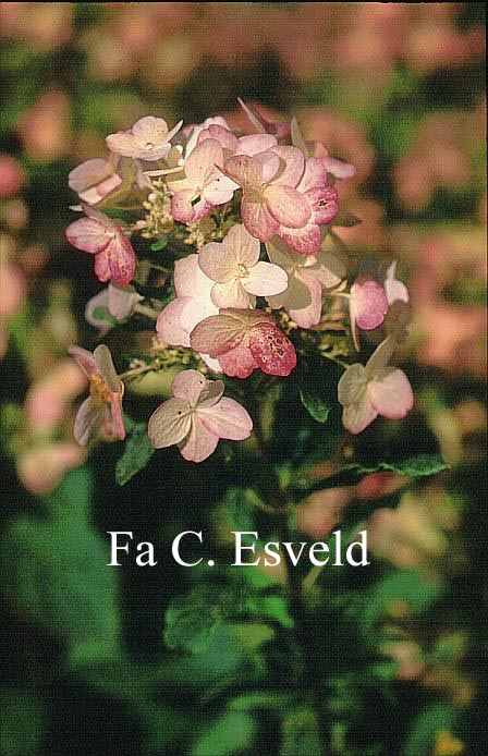 Hydrangea paniculata 'Darlido' (DART'S LITTLE DOT)