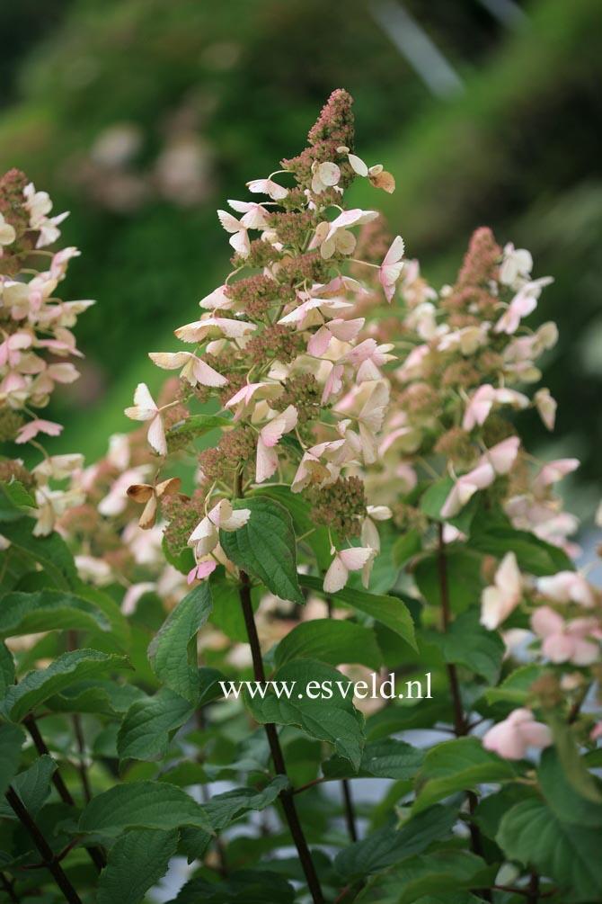 Hydrangea paniculata 'Pink Lady'
