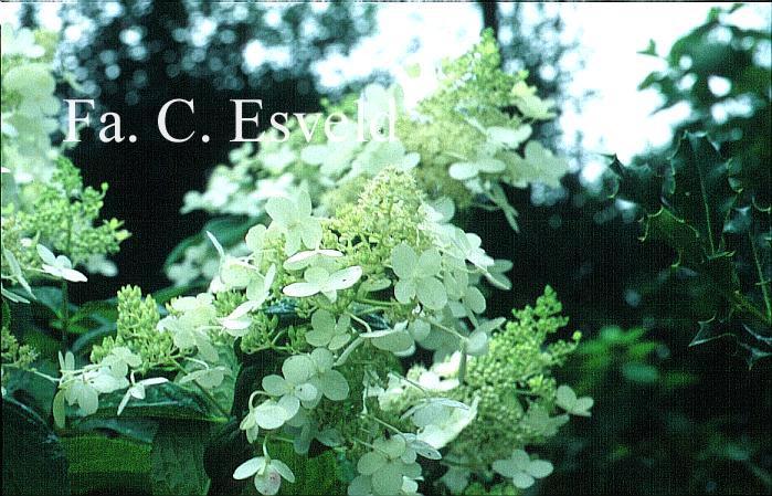 Hydrangea paniculata 'Skylight'