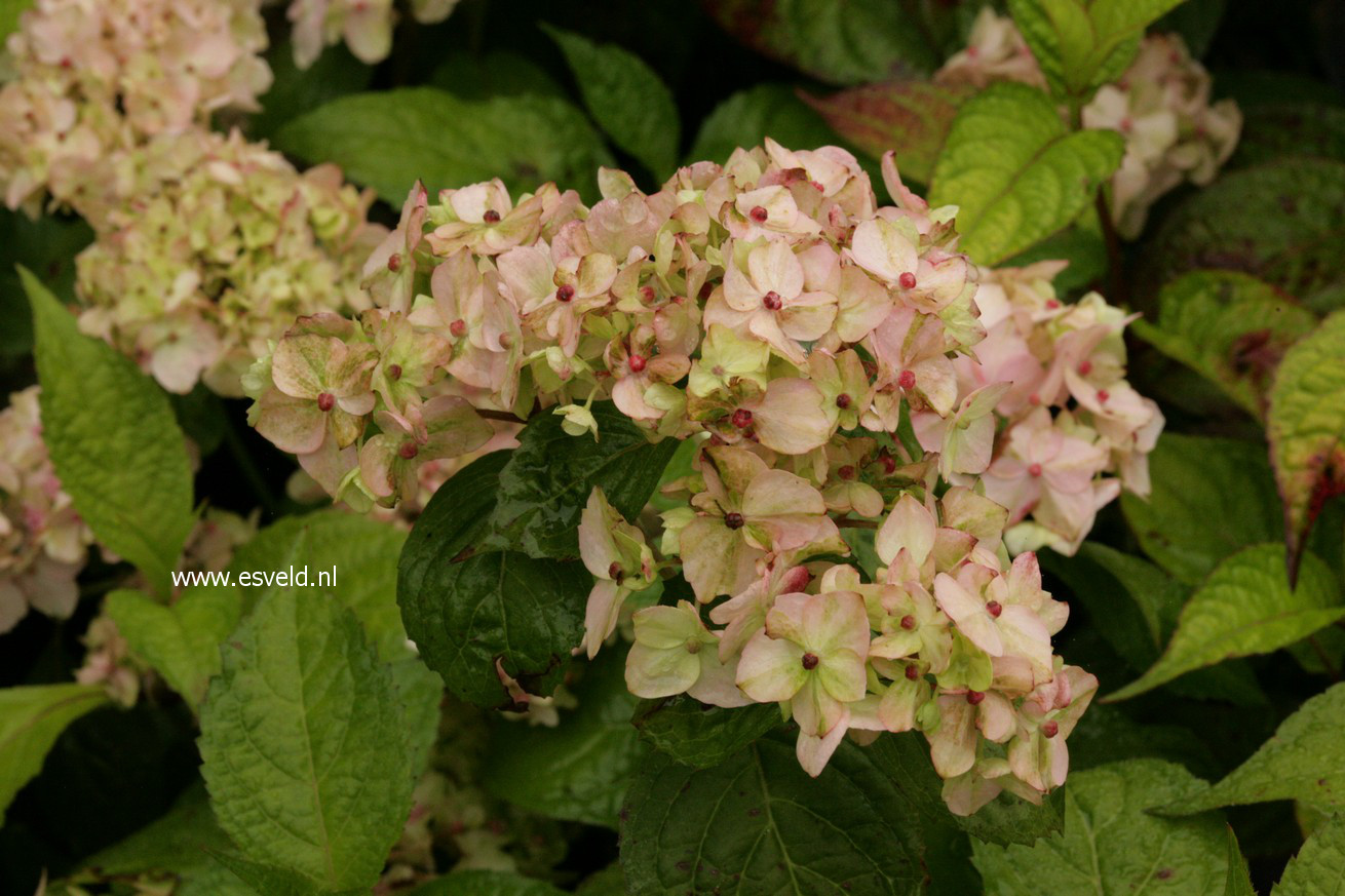 Hydrangea serrata 'Akishino-temari'