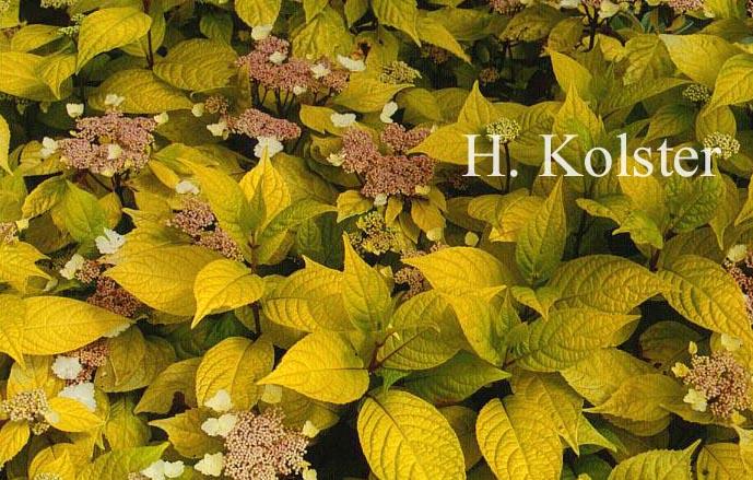 Hydrangea serrata 'Golden Sunlight'