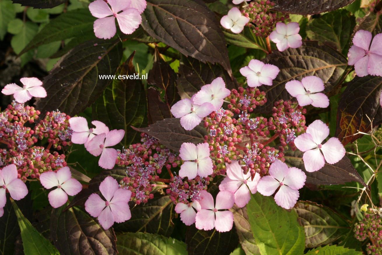 Hydrangea serrata 'Miyama-kuro-hime'