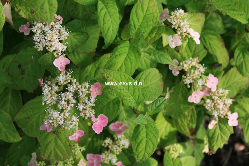 Hydrangea serrata 'Momoiro-yama-ajisai'