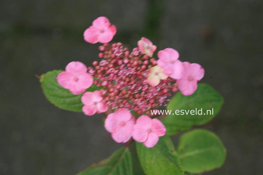 Hydrangea serrata 'Seikai'