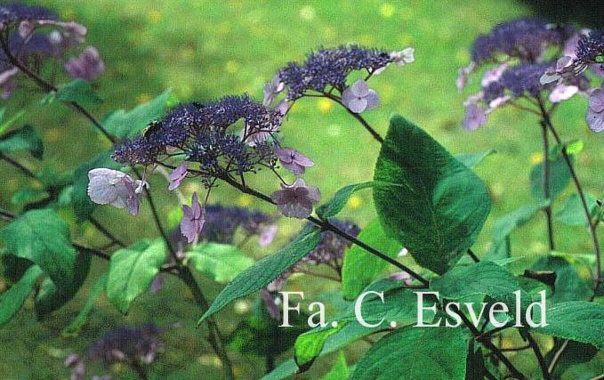 Hydrangea villosa 'Anthony Bullivant'