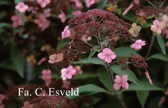Hydrangea villosa 'Spinners'
