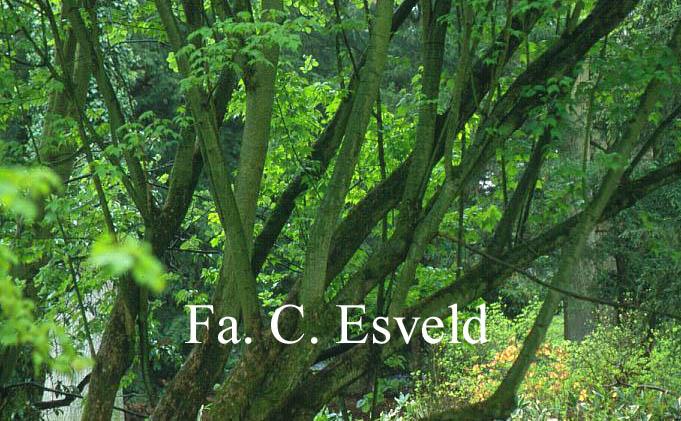 Acer acuminatum