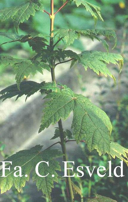 Acer argutum
