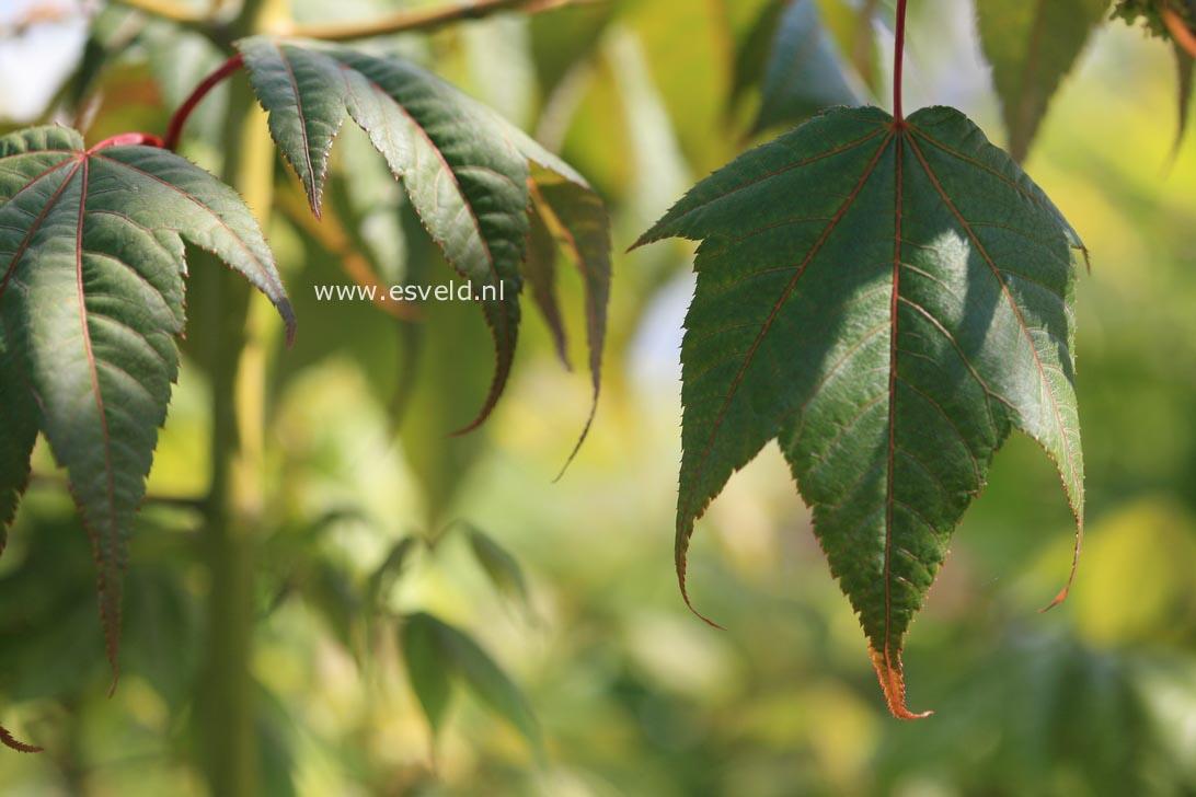 Acer campbellii fansipanense