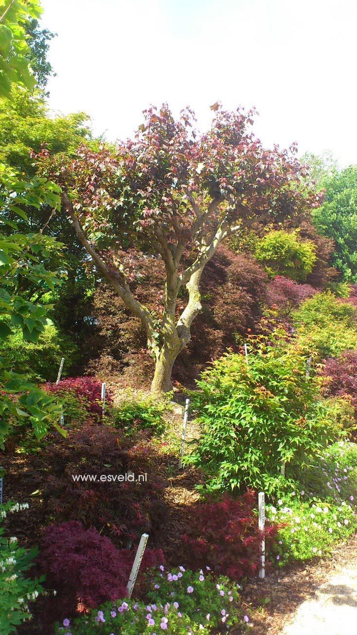 Acer cappadocicum ssp. sinicum
