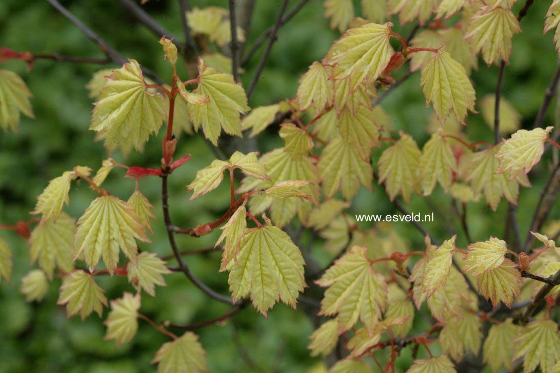Acer circinatum 'W.B.Hoyt'