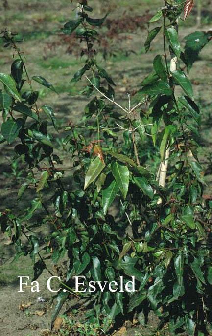 Acer cordatum