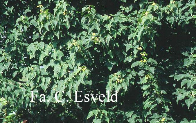 Acer davidii 'Purple Bark'