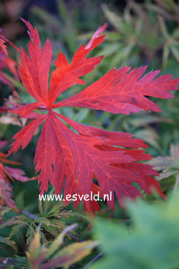 Acer japonicum 'Kujaku-nishiki'