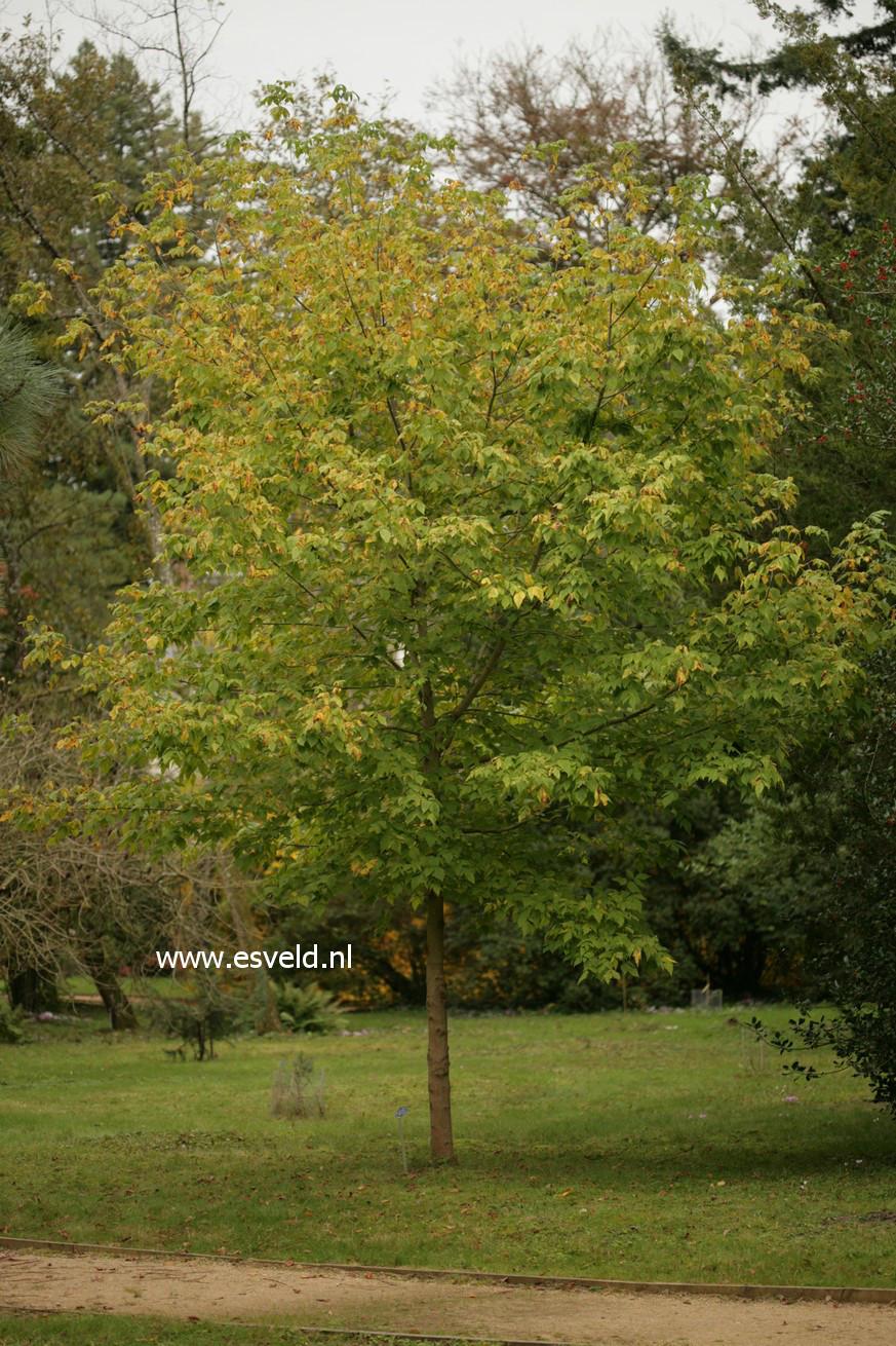 Acer negundo ssp. californicum