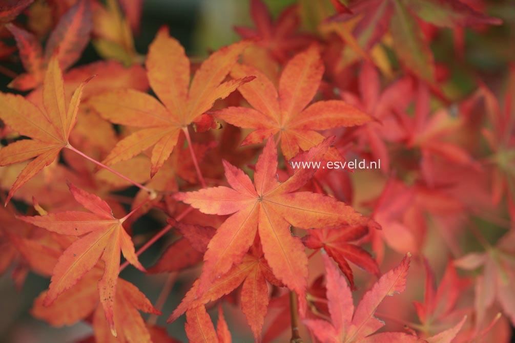 Acer olivaceum
