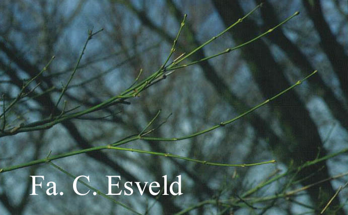 Acer palmatum 'Ao-yagi'
