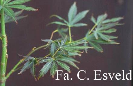 Acer palmatum 'Autumn Glory'
