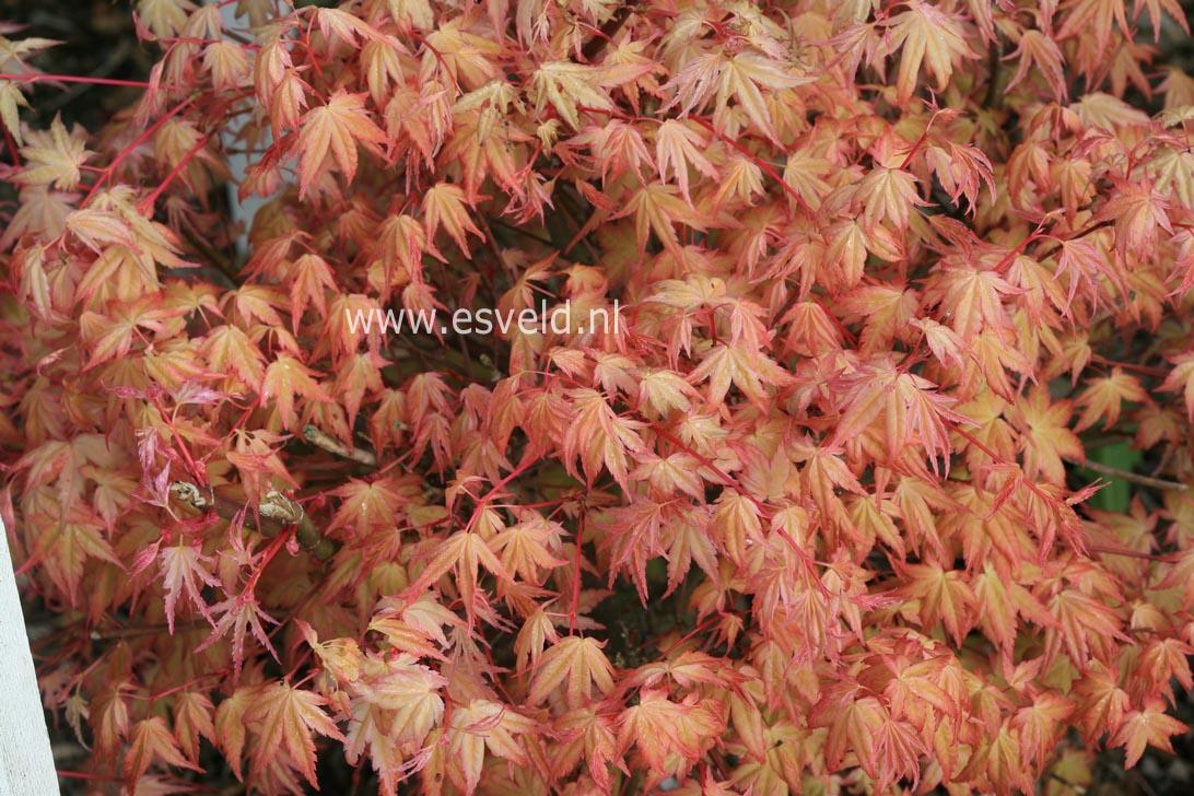 Acer palmatum 'Beni-chidori'
