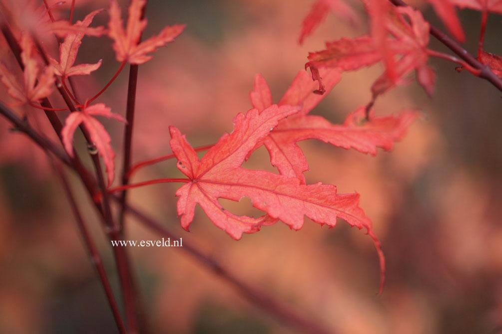 Acer palmatum 'Beni-fushigi'