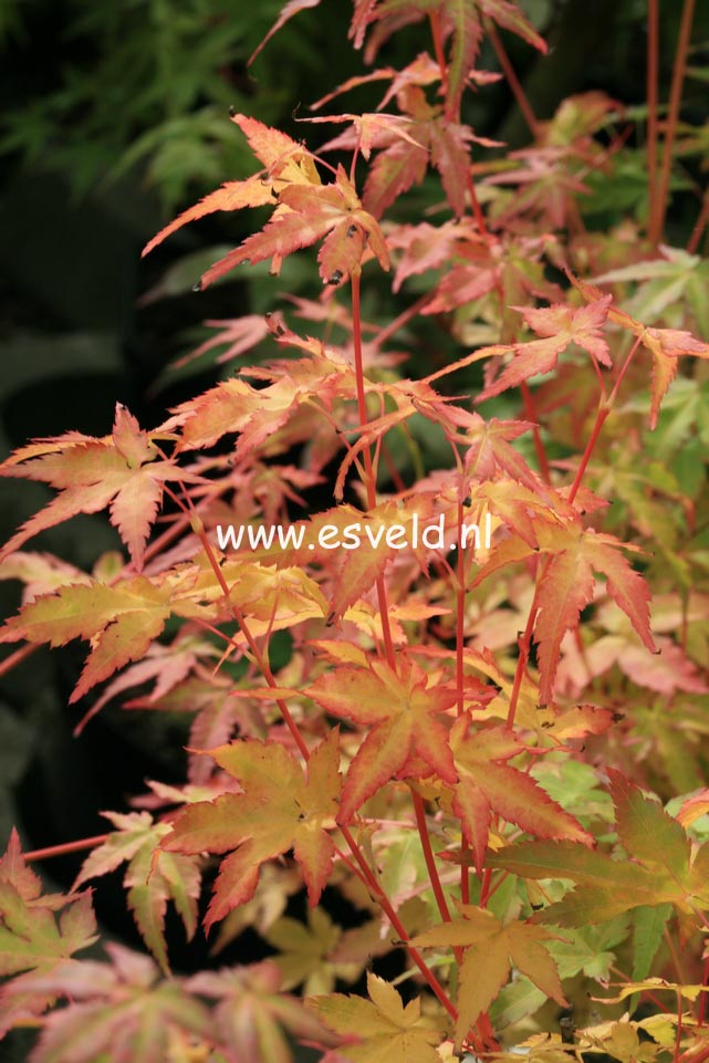 Acer palmatum 'Bi-hoo'
