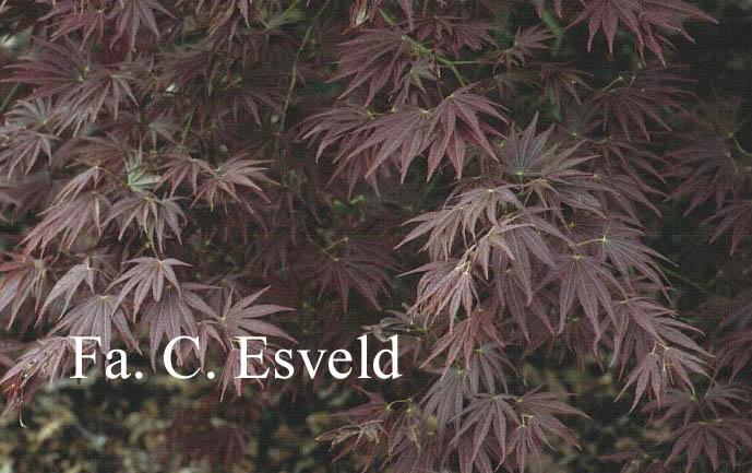 Acer palmatum 'Chikuma-no'