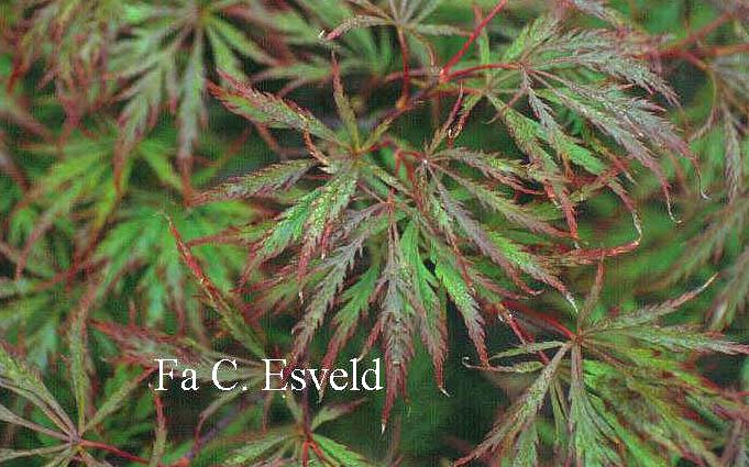 Acer palmatum 'Dissectum Rubrum'