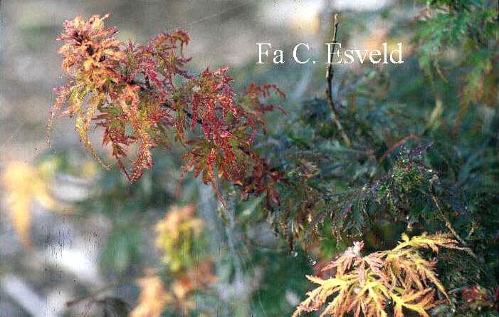 Acer palmatum 'Felice'