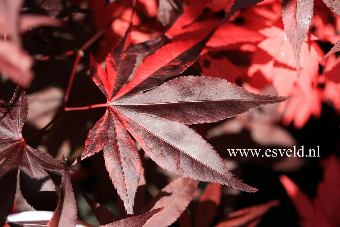 Acer palmatum 'Fujinami-nishiki'