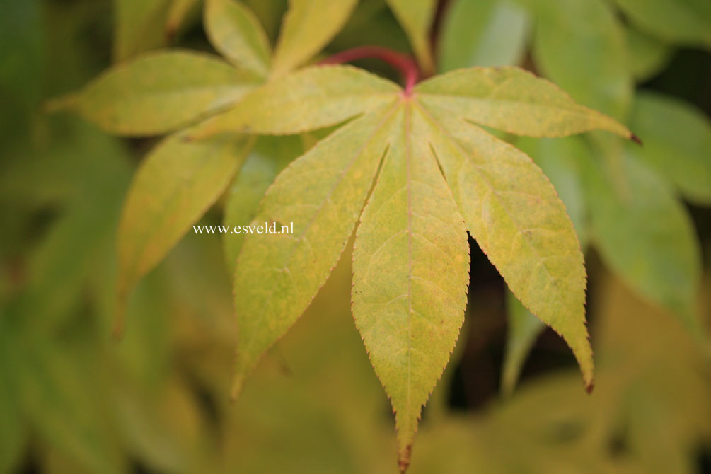 Acer palmatum 'Green Star'