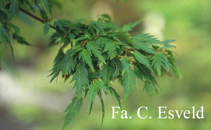 Acer palmatum 'Hagoromo'