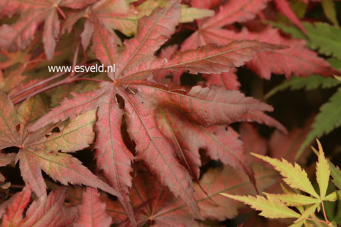 Acer palmatum 'Harold Seedling'