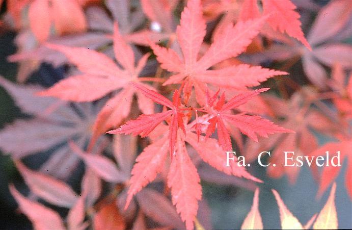 Acer palmatum 'Heguri'