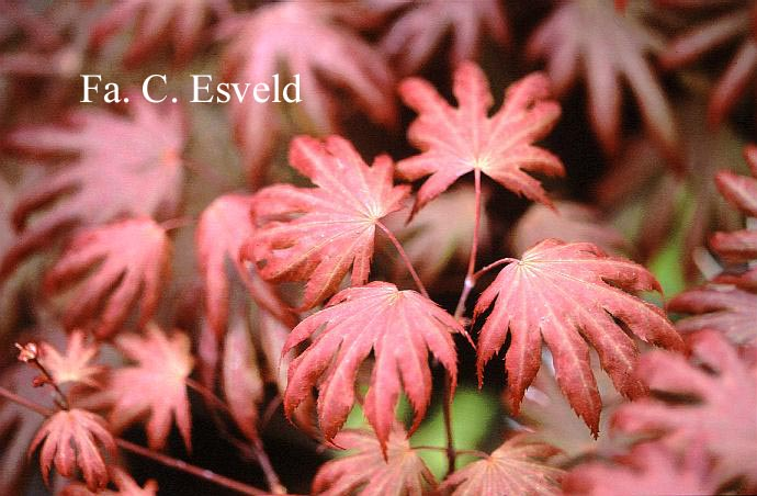 Acer palmatum 'Hemelrijk'