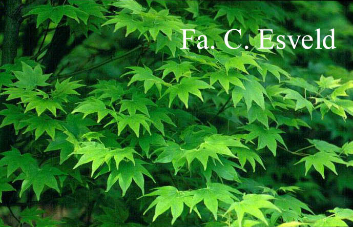 Acer palmatum 'Hohgyoku' Hort. non Japan