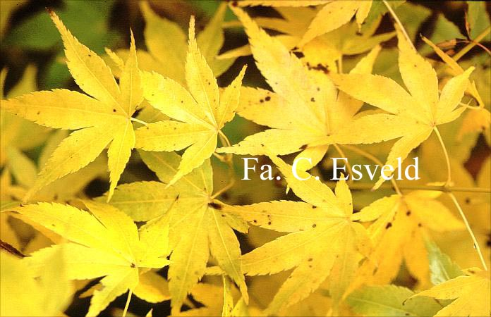 Acer palmatum 'Kawahara-no-midori'