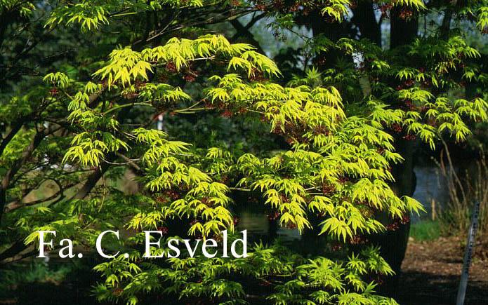 Acer palmatum 'Ki-hachijoh'