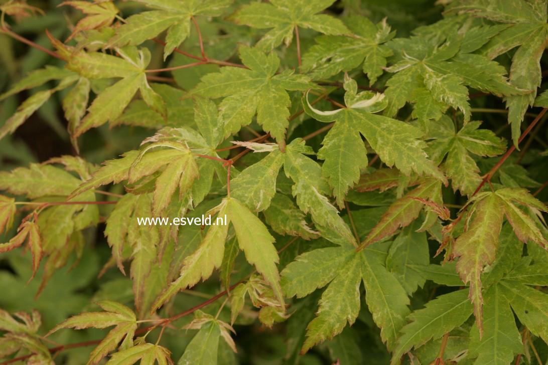 Acer palmatum 'Kingsville Variegated'