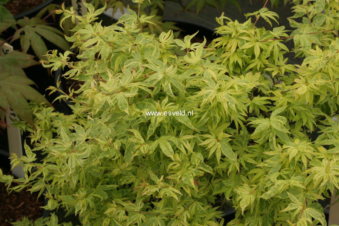 Acer palmatum 'Kokubunji-nishiki'