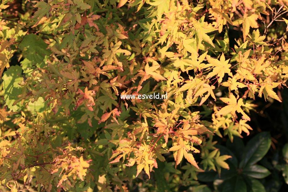 Acer palmatum 'Mama'