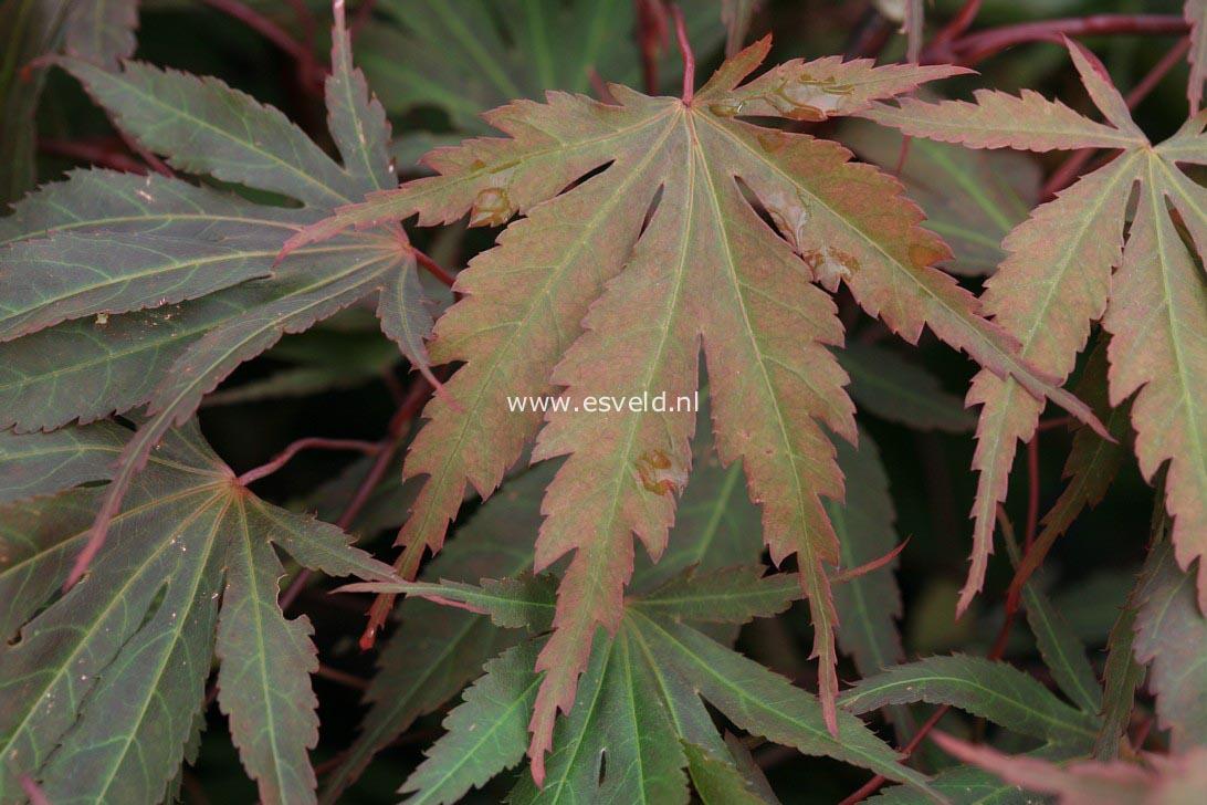 Acer palmatum 'Murasaki-yama'