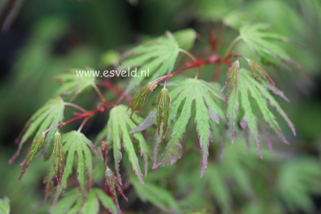Acer palmatum 'Ogi-nagashi'