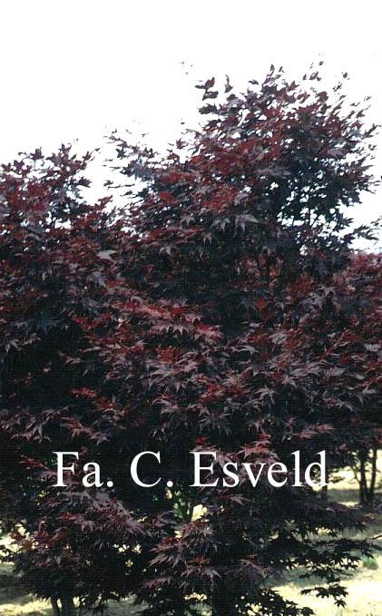 Acer palmatum 'Red Flash'