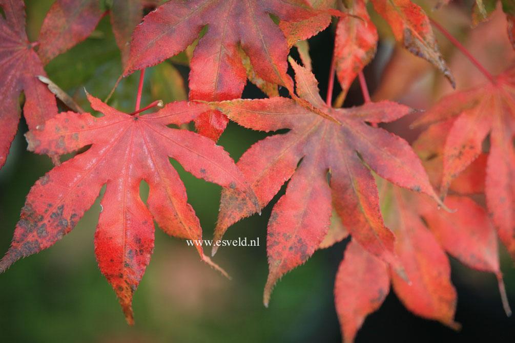 Acer palmatum 'Reticulatum Purple'
