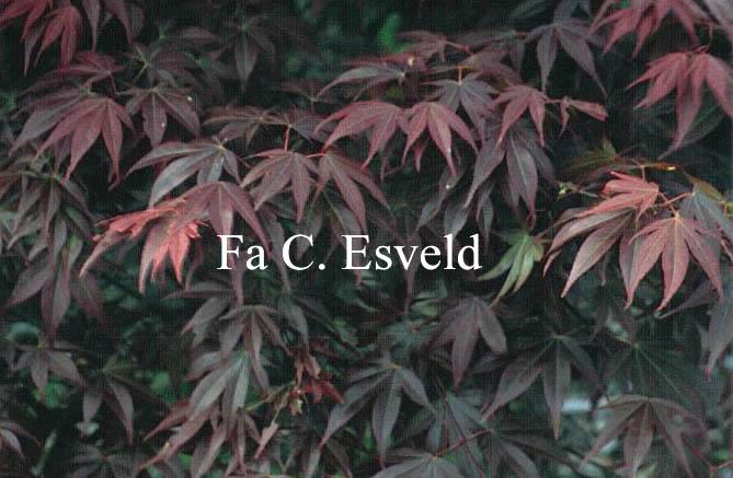 Acer palmatum 'Shishighosan'